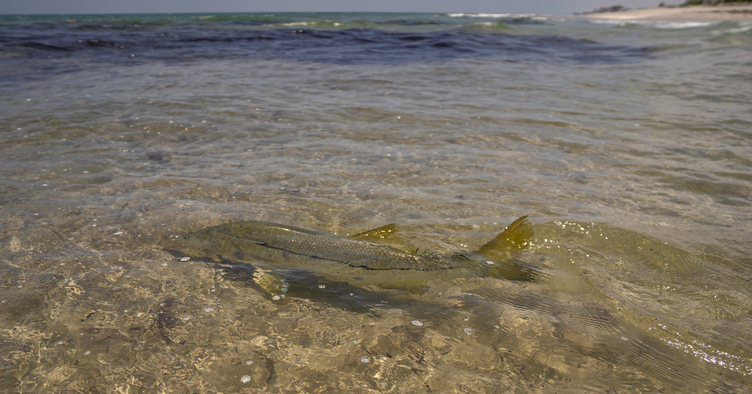 Snook in surf